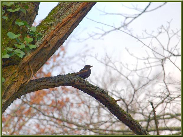 Grive dans un chêne au Parc de la Chêneraie à Gujan-Mestras (Bassin d'Arcachon)