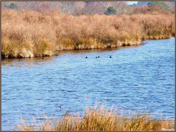 Foulques dans un réservoir, Sentier du Littoral, secteur Domaine de Certes et Graveyron, Bassin d'Arcachon (33)