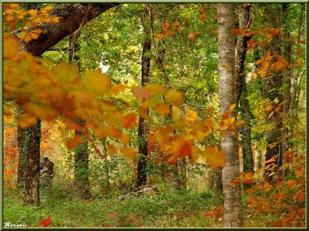 Sous-bois en période automnale, forêt sur le Bassin d'Arcachon (33)