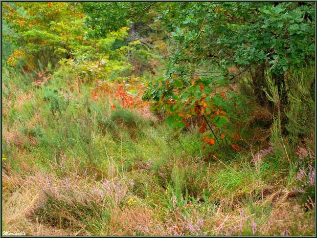 Méli mélo forestier : herbacées, ajoncs, bruyères et chênes aux couleurs automnales, forêt sur le Bassin d'Arcachon (33)
