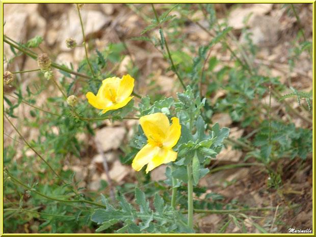 Pavots en fleurs en bordure de route au Val d'Enfer, Baux-de-Provence, Alpille (13)