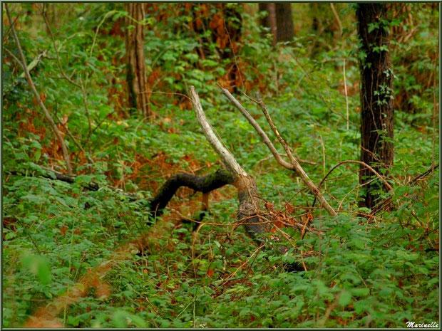 Méli mélo forestier : végétation diverse début automne en sous bois, forêt sur le Bassin d'Arcachon (33)
