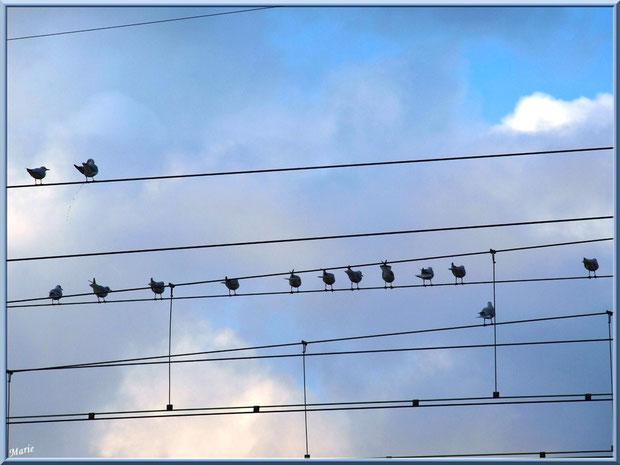Mouettes, telle une portée musicale, au Parc de la Chêneraie à Gujan-Mestras (Bassin d'Arcachon)