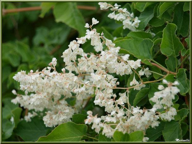 Arbuste et ses fleurs blanches en cascade, au gré d'une ruelle - Goult, Lubéron - Vaucluse (84)