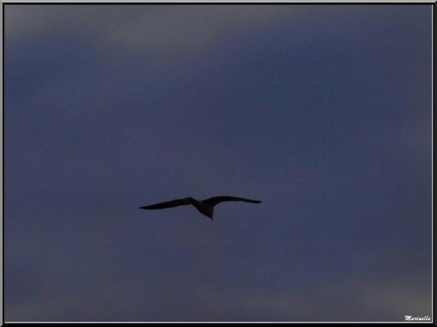 Mouette en vol de nuit au-dessus du Sentier du Littoral, secteur Port du Teich en longeant La Leyre, Le Teich, Bassin d'Arcachon (33)