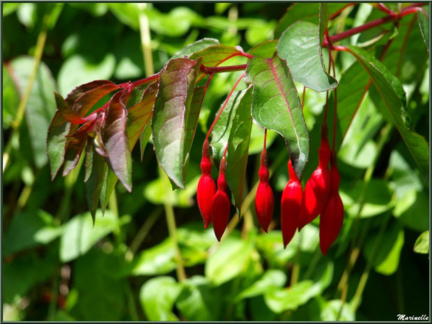 Les Terrasses : Fuchsia royal avec des fleurs en bouton - Les Jardins du Kerdalo à Trédarzec, Côtes d'Armor (22)