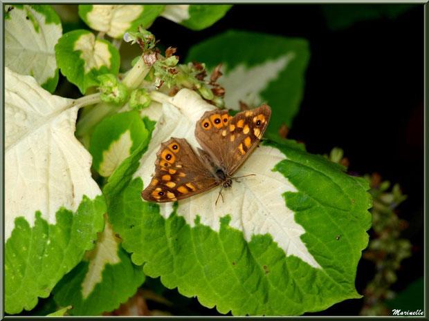 Papillon Tircis sur feuille de Bégonia Rex