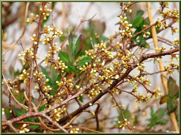 Quand les premiers boutons de fleurs sur les arbrisseaux annoncent le printemps, Sentier du Littoral, secteur Moulin de Cantarrane, Bassin d'Arcachon