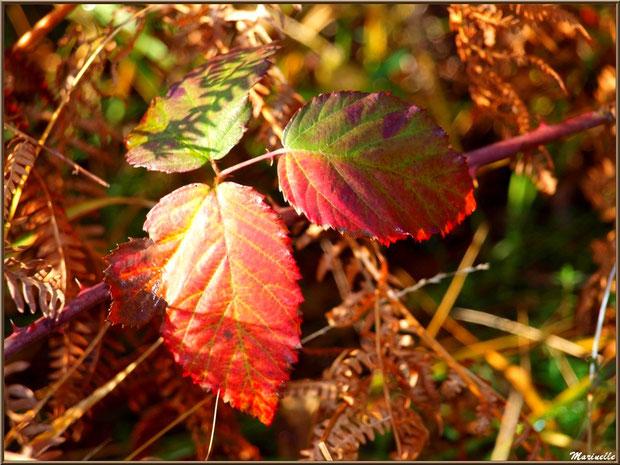 Roncier automnal au soleil agrippé à une fougère, forêt sur le Bassin d'Arcachon (33)