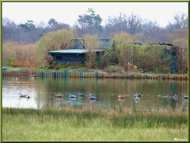 Tonne avec son lac et ses appeaux dans les prés salés, Sentier du Littoral secteur Pont Neuf, Le Teich, Bassin d'Arcachon (33)