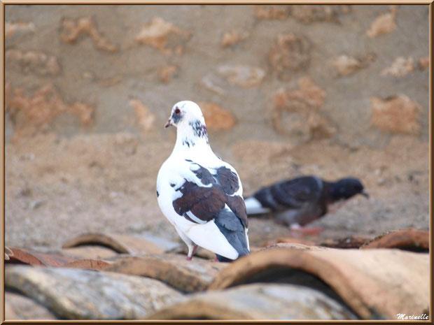 Pigeons sur un toit au détour d'une ruelle, Baux-de-Provence, Alpilles (13)