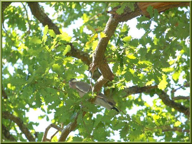 Palombe dans un chêne au Parc de la Chêneraie à Gujan-Mestras (Bassin d'Arcachon)