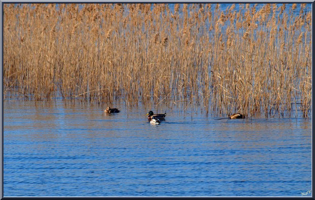 Lac de Sanguinet : canards au milieu des roseaux, Landes