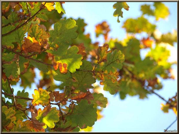 Branche de chêne automnal au soleil, forêt sur le Bassin d'Arcachon (33)