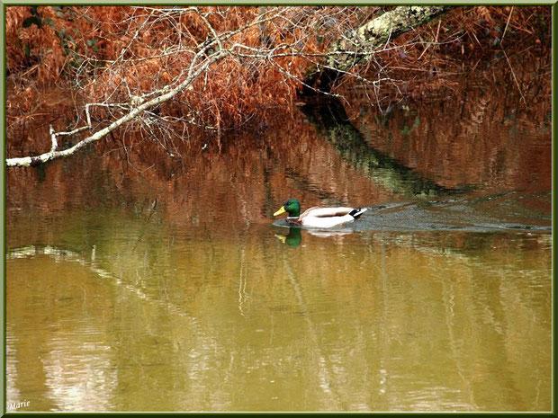 Canard Colvert et reflets au fil du Canal des Landes au Parc de la Chêneraie à Gujan-Mestras (Bassin d'Arcachon)