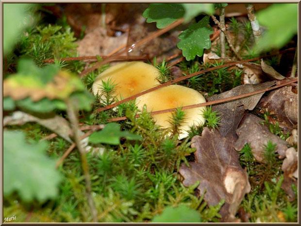 Hypholomes en Touffe cachés en forêt sur le Bassin d'Arcachon