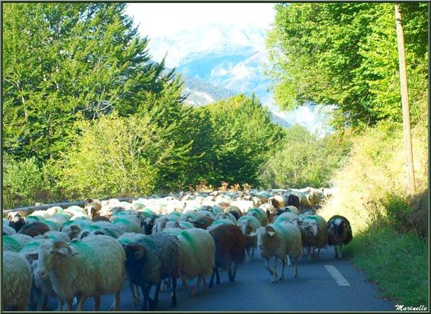Troupeau de moutons sur une route en montée vers les alpages de Gourette, Vallée d'Ossau (64)