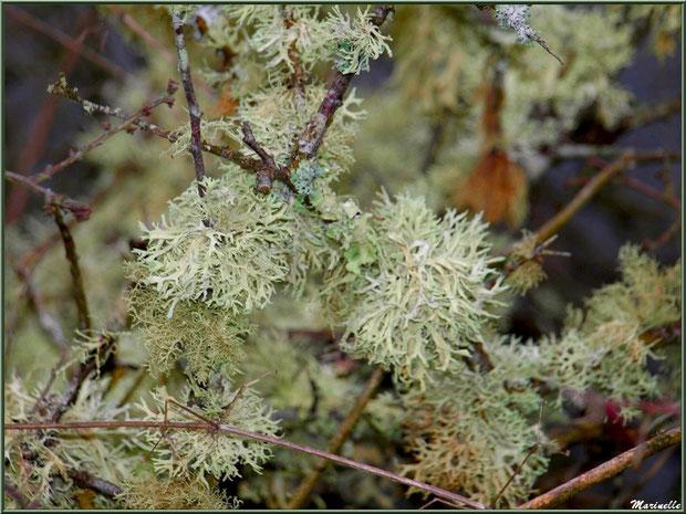 Mousse des Chênes ou Evernia Prunastri sur branche de chêne en forêt sur le Bassin d'Arcachon