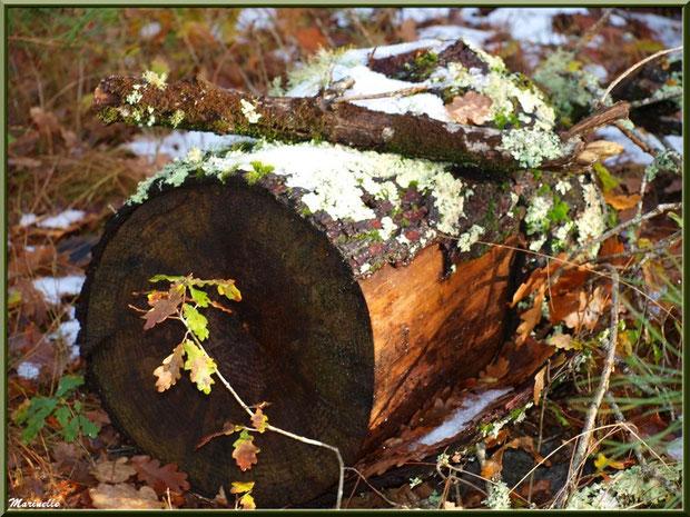 Reliques de manteau neigeux, tronc d'arbre au sol et feuilles de chêne, forêt sur le Bassin d'Arcachon (33)