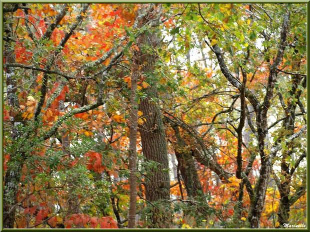Chênes et pins en automne, forêt sur le Bassin d'Arcachon (33)