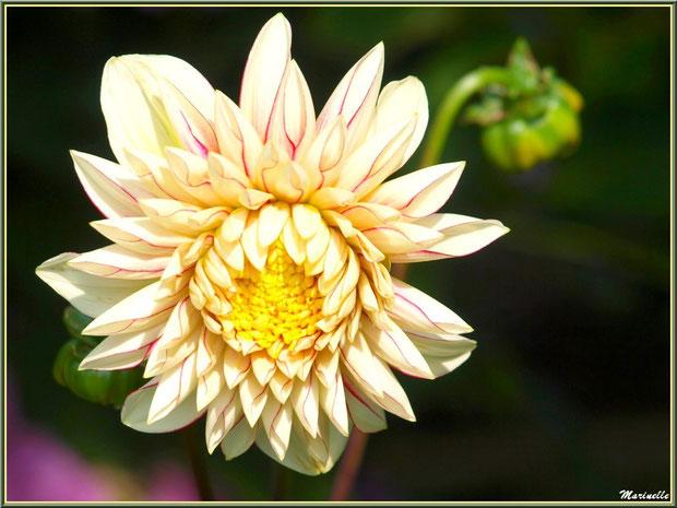 Dahlia jaune pâle jaspé rose, au jardin