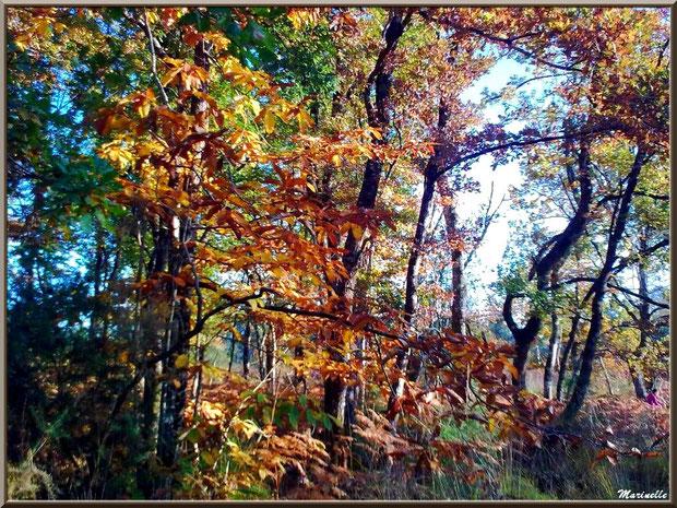 Marronnier automnal parmi les chênes, forêt sur le Bassin d'Arcachon (33)