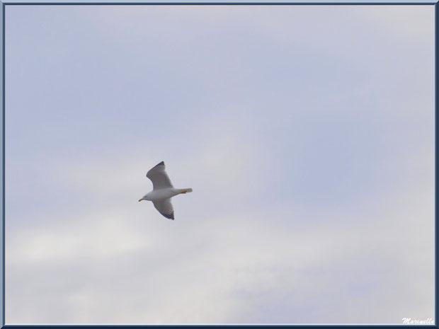 Mouette en vol au-dessus du Sentier du Littoral, secteur Port du Teich en longeant La Leyre, Le Teich, Bassin d'Arcachon (33)