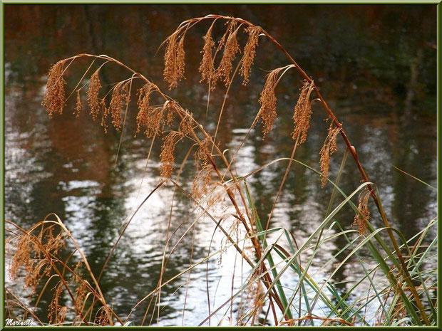 Herbacées en bordure du Canal des Landes et reflets au Parc de la Chêneraie à Gujan-Mestras (Bassin d'Arcachon)
