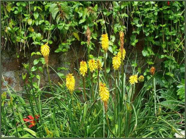 Les Terrasses : Tison de Satan ou Tritoma (jaune) et Hémérocalle (rouge orangé) - Les Jardins du Kerdalo à Trédarzec, Côtes d'Armor (22)