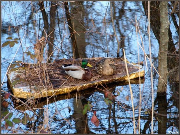 Mr et Mme canards font de la planche au fil du Canal des Landes au Parc de la Chêneraie à Gujan-Mestras (Bassin d'Arcachon)