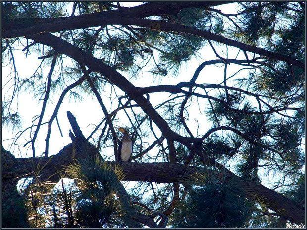 Cormoran dans un pin au Parc de la Chêneraie à Gujan-Mestras (Bassin d'Arcachon)