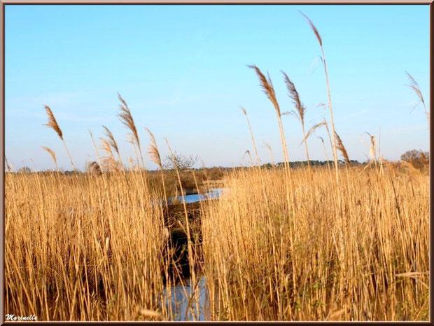 Roseaux en bordure des réservoirs, Sentier du Littoral, secteur Port du Teich en longeant La Leyre, Le Teich, Bassin d'Arcachon (33)
