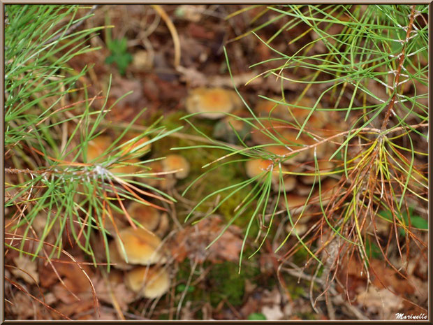 Méli mélo forestier automnal : branches de pin sur fond de champignons (hypholomes), forêt sur le Bassin d'Arcachon (33)