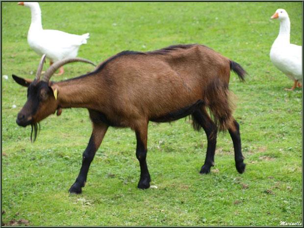 Chèvre et oies à la Pisciculture des Sources à Laruns, Vallée d'Ossau (64)