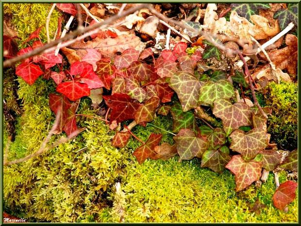 Lierre et feuilles de chêne en automne sur tapis de mousse, forêt sur le Bassin d'Arcachon (33)