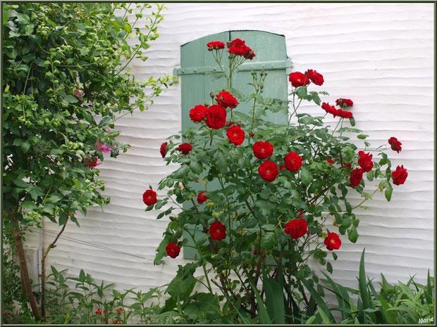 Fenêtre aux volets clos et au rosier rouge à Talmont-sur-Gironde, Charente-Maritime