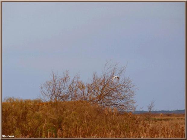 Mouette en vol au-dessus des prés salés, Sentier du Littoral, secteur Port du Teich en longeant La Leyre, Le Teich, Bassin d'Arcachon (33)