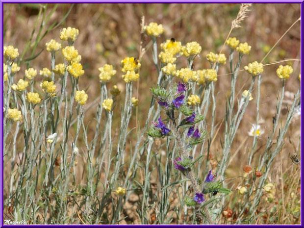 Immortelles des Prés et Bugle Rampant en fleurs parmi d'autres herbacées dans la campagne environnante du village de Cucuron, Lubéron (84)