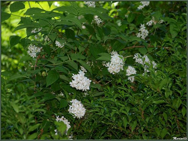 Le sentier de la Vallée du Bas et Choisya Ternata en fleurs - Les Jardins du Kerdalo à Trédarzec, Côtes d'Armor (22)