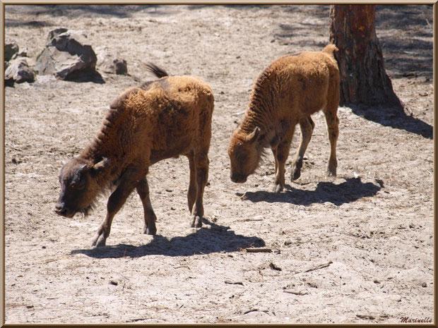 Bébés bisons, Zoo du Bassin d'Arcachon, La Teste de Buch (33)