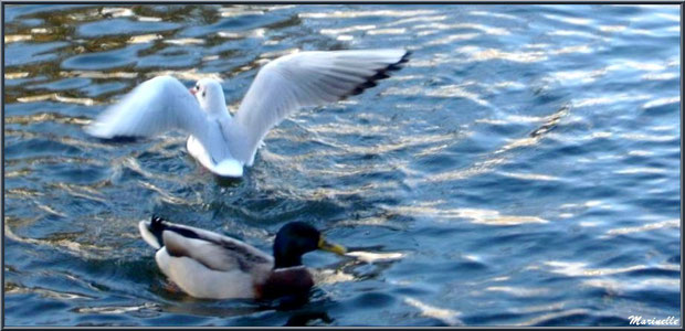 Mouette et canard Colvert dans le bassin à l'entrée du Parc de la Chêneraie à Gujan-Mestras (Bassin d'Arcachon)
