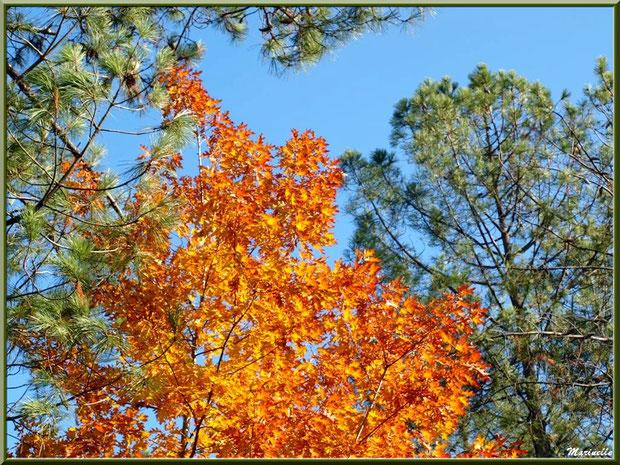Chêne automnal parmi pins maritimes, en forêt sur le Bassin d'Arcachon (33)
