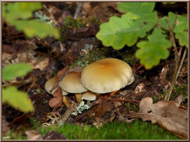 Hypholomes en Touffe parmi mousse et chêne en forêt sur le Bassin d'Arcachon