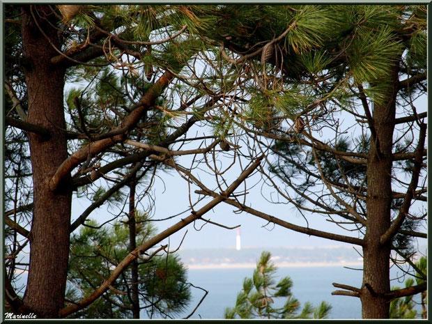 Pins maritimes en bordure de plage à La Corniche à Pyla-sur-Mer, Bassin d'Arcachon (33) avec, en toile de fond, le phare du Cap Ferret