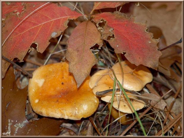 Clitocybes Orangés sous feuilles de chêne automnales en forêt sur le Bassin d'Arcachon