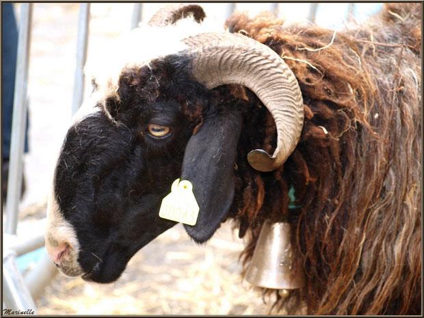 Brebis à la mini-ferme de la Fête au Fromage, Hera deu Hromatge, à Laruns en Vallée d'Ossau (64)