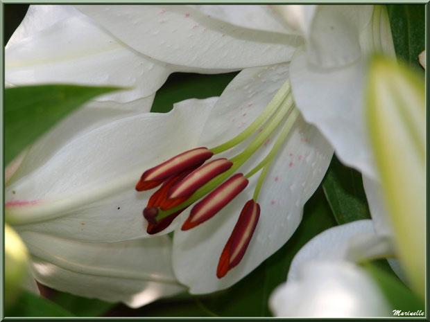 Coeur de Lys blanc, au jardin