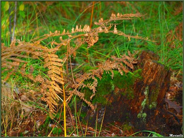 Méli mélo forestier : fougère automnale, herbes et tronc d'arbre mort moussu, en forêt sur le Bassin d'Arcachon (33)