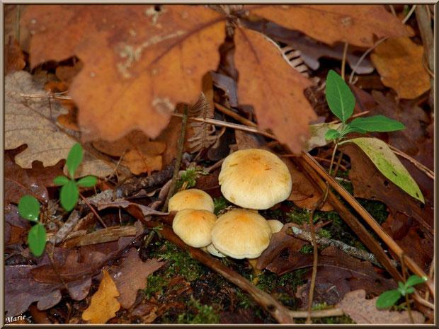 Hypholomes en Touffe sous feuillage en forêt sur le Bassin d'Arcachon