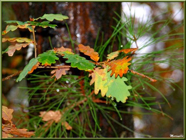 Feuilles de chêne automnales et aiguilles de pin après ondée, forêt sur le Bassin d'Arcachon (33)